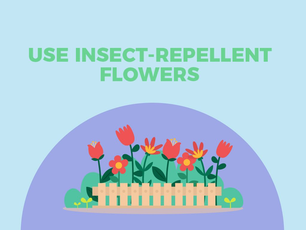Use insect-repellent flowers