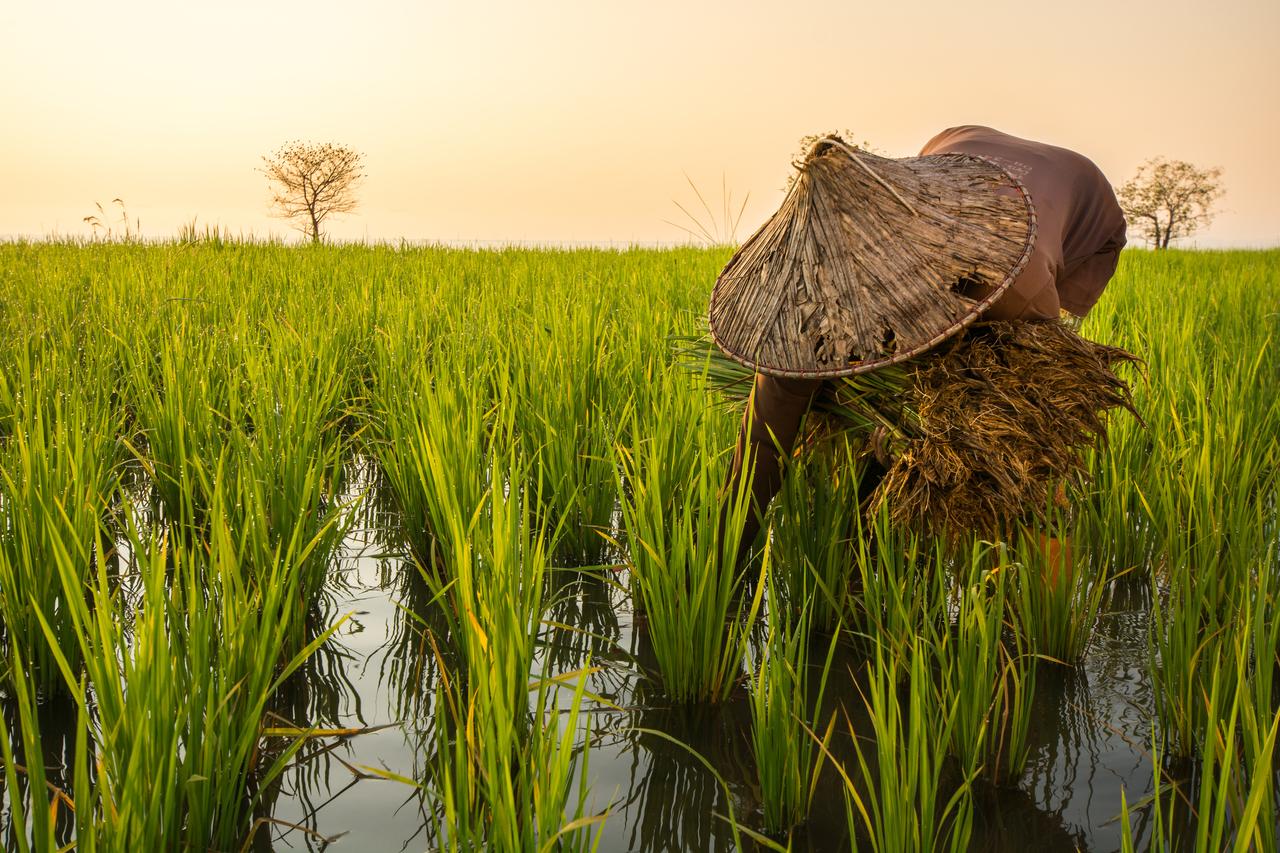 rice farmer planting rice
