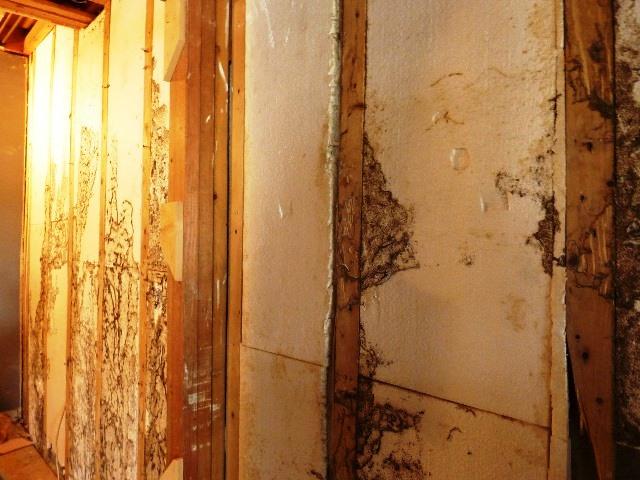 Termites inside walls