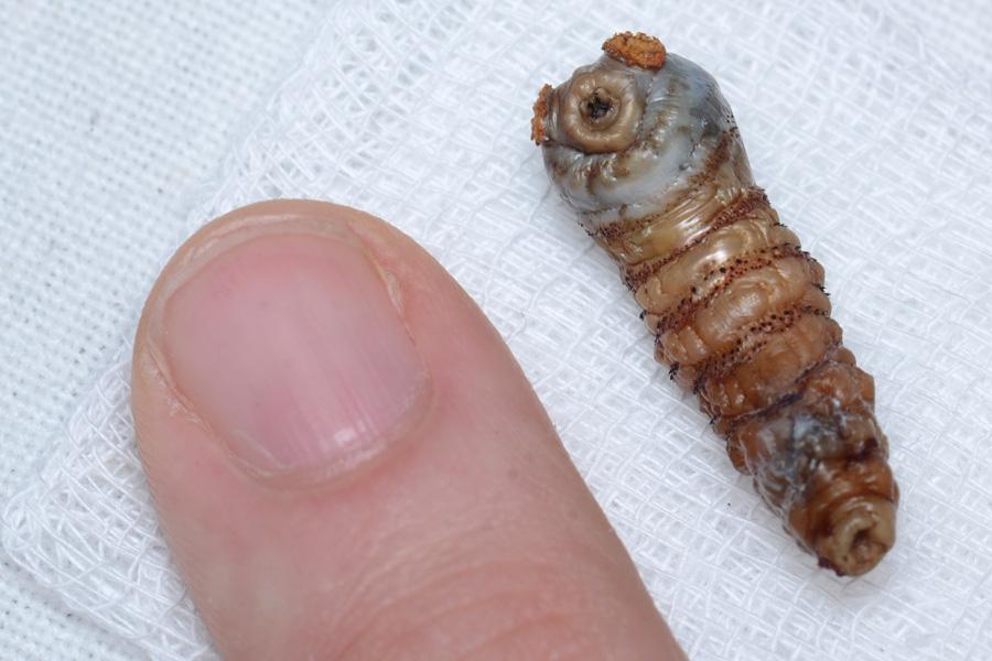 Human Botfly (Larva)