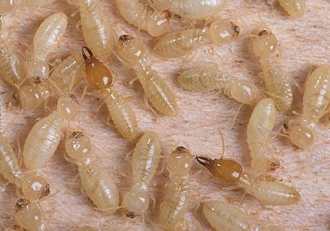 Termite Control - Formosan Termites