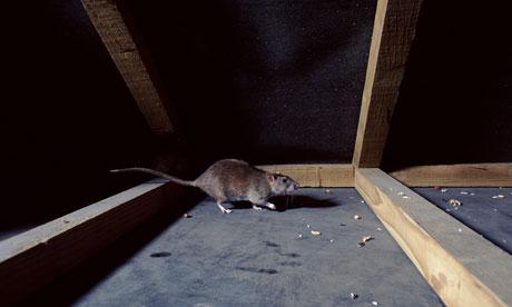 A-rat-in-the-attic-007