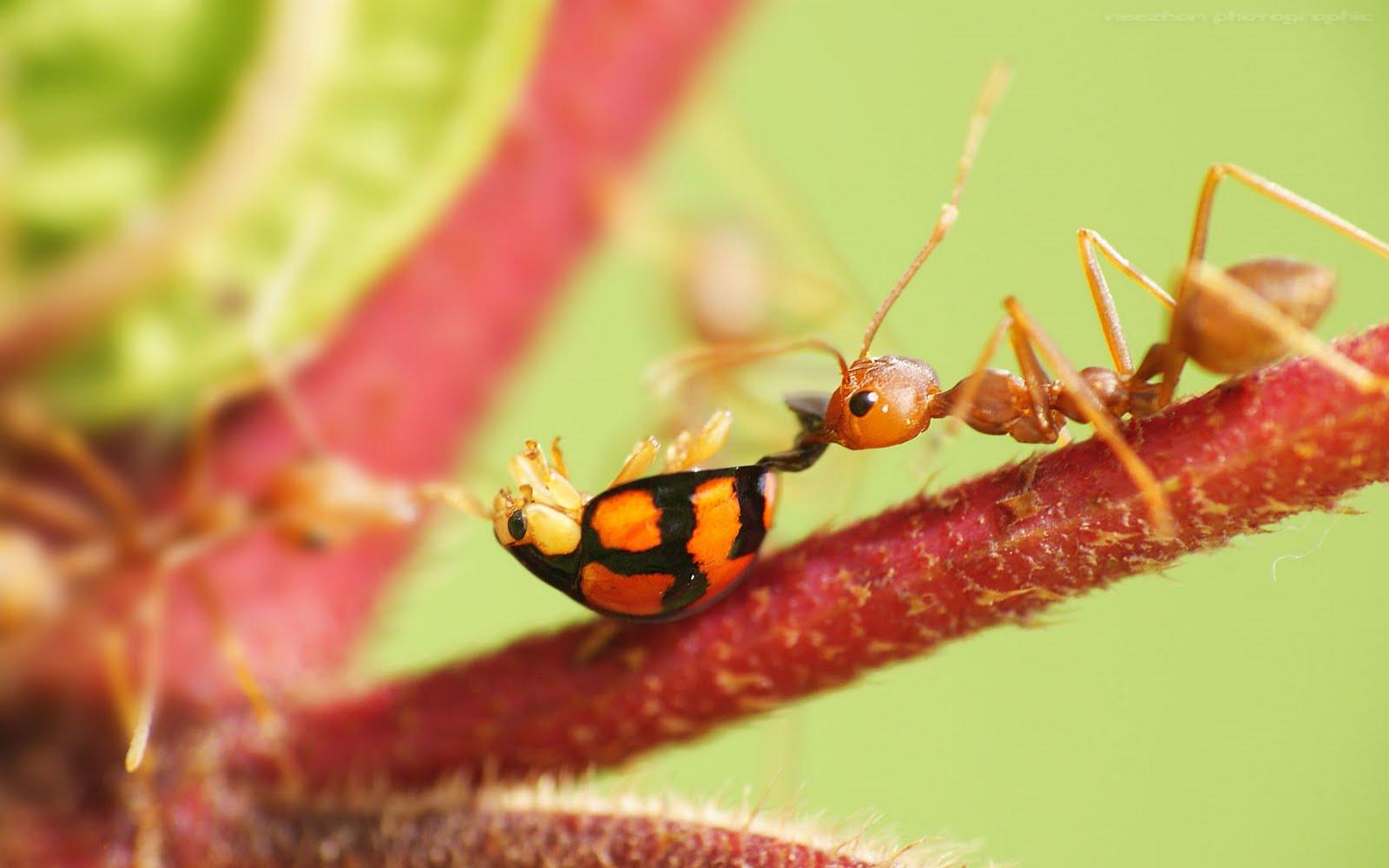 kerengga kenduri lady bug