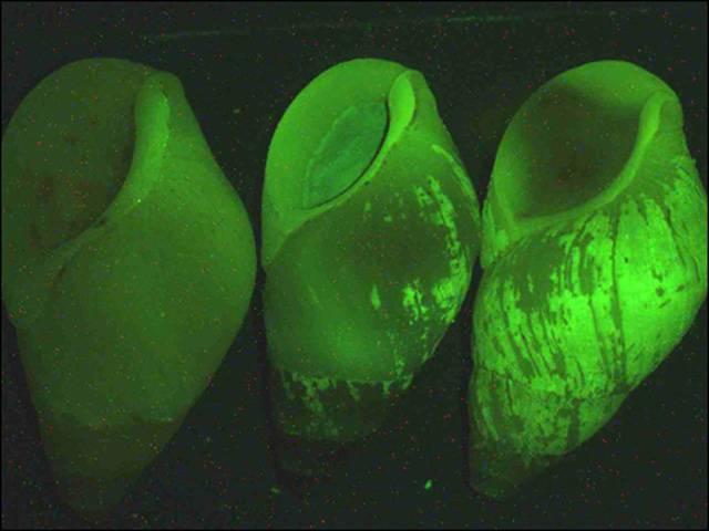 bioluminescent snail
