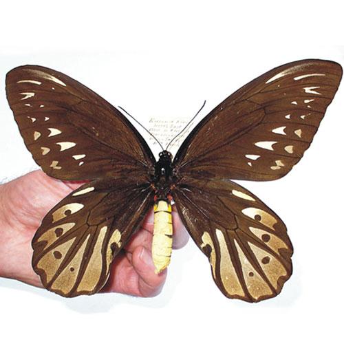 Queen-Alexandra's-Birdwing