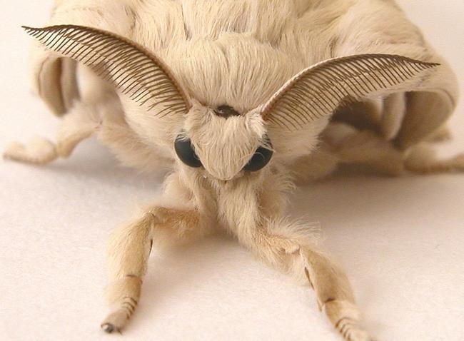 Chinese Silk Moth