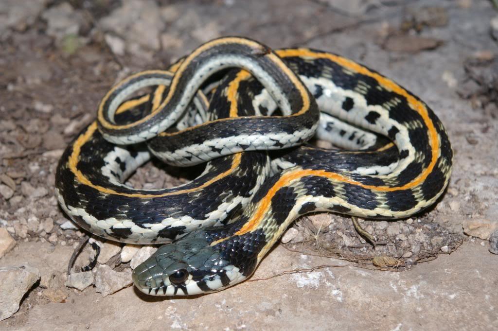 Eastern Blackneck Garter Snake