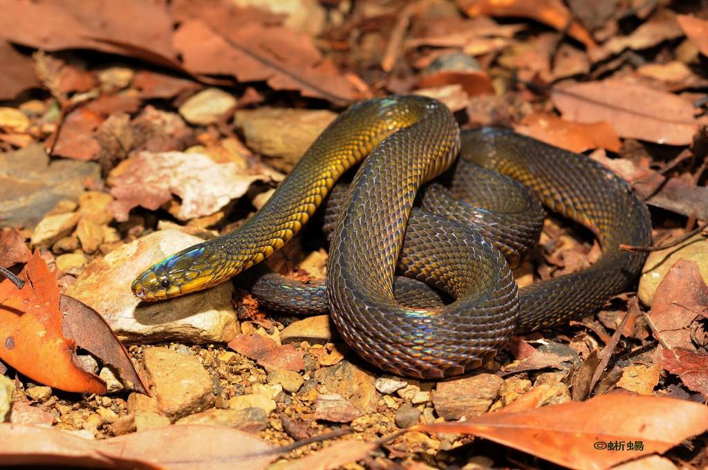 Formosa Odd-Scaled Snake