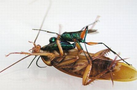 Emerald Cockroach Wasp