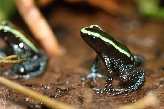 Kokoe Poison Frog