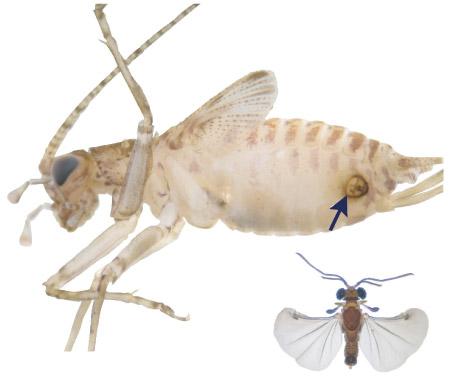 Strepsiptera Myrmecolacidae