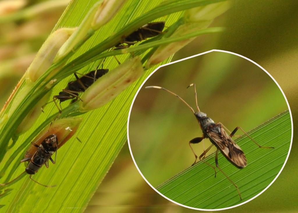 rice_bug-2