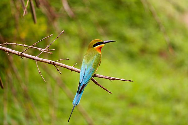 blue tailed bee eater1