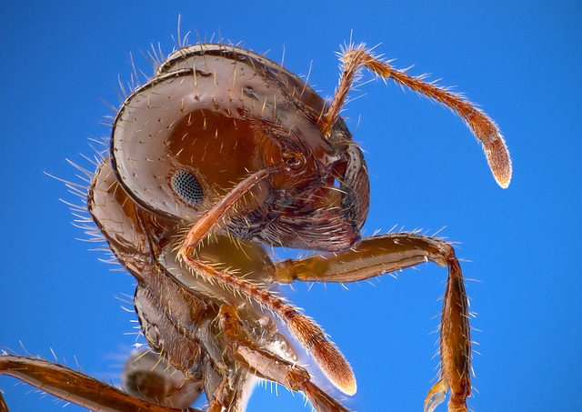 fire-ant-1091301_640
