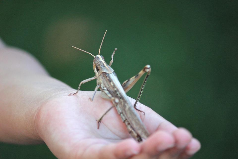grasshopper-78487_960_720