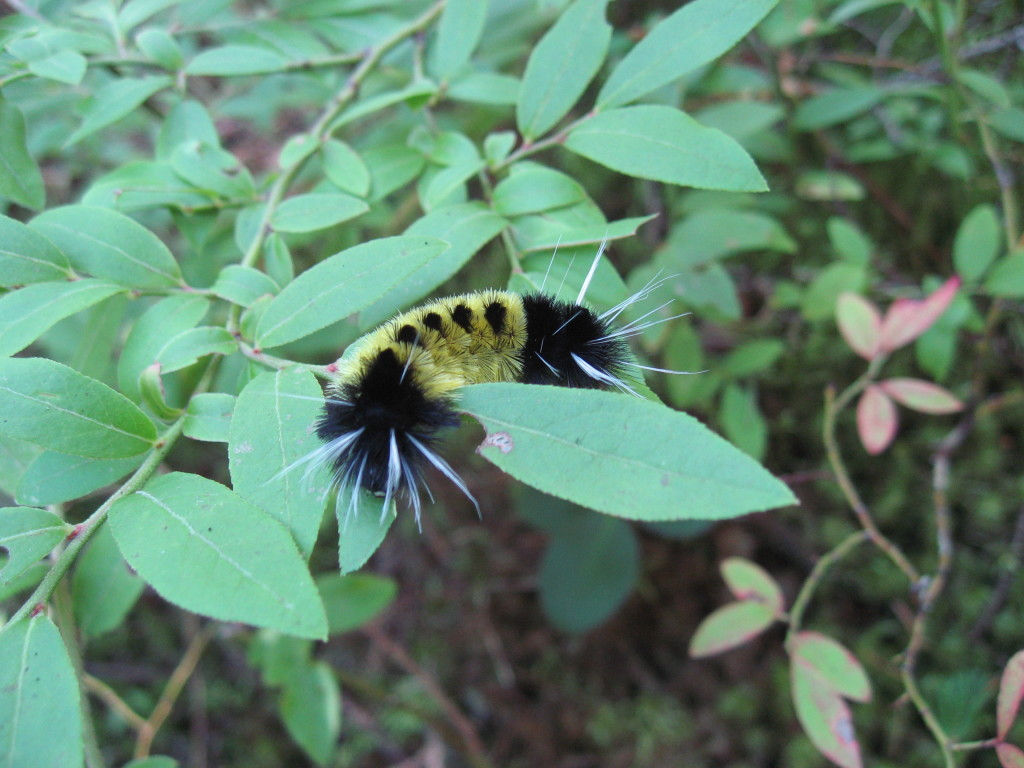 Lophocampa_maculata_(spotted_tussock_moth)_caterpillar