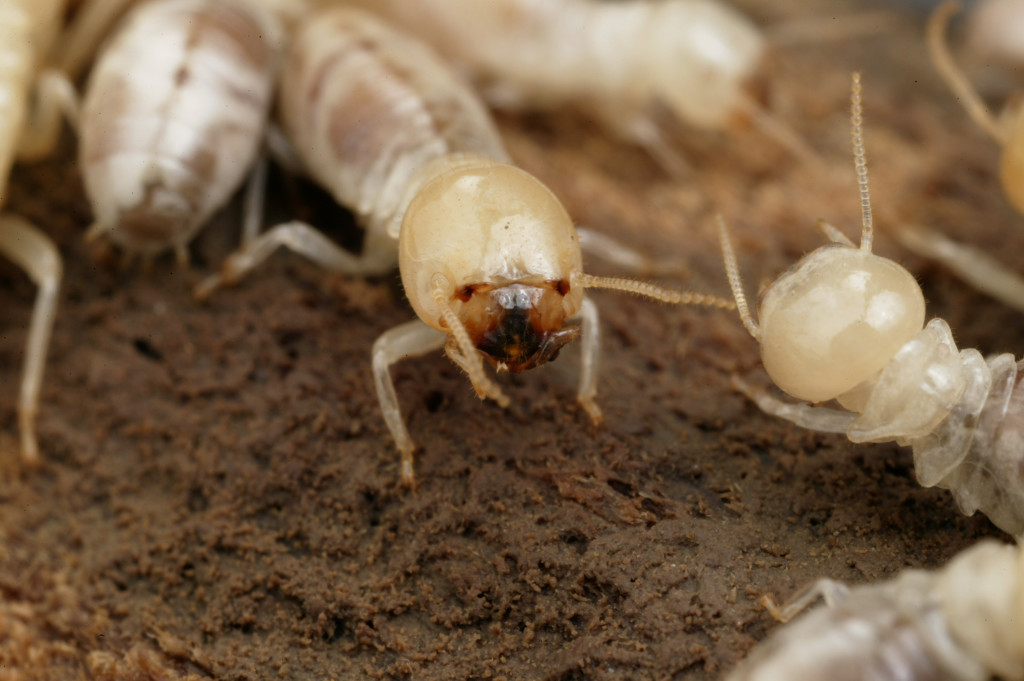 csiro_scienceimage_4006_mastotermes_darwiniensis_giant_northern_termite