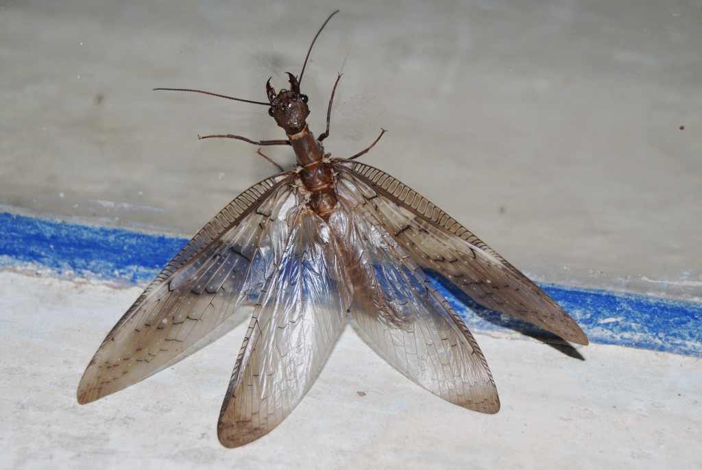 corydalus_sp-hembra-megaloptera-jmm-acos-2010_mar_09-dsc_4309
