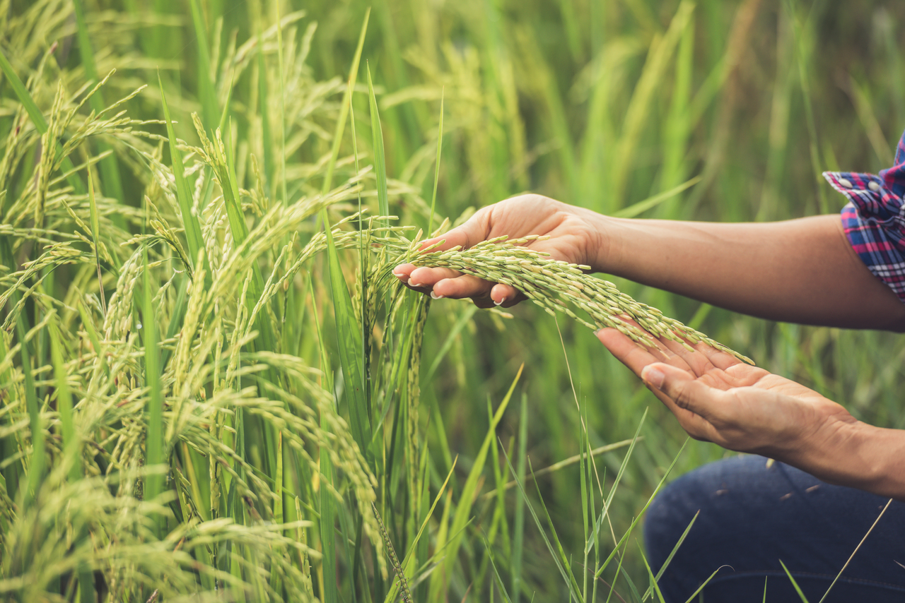 Farmer Holds Rice In Hand