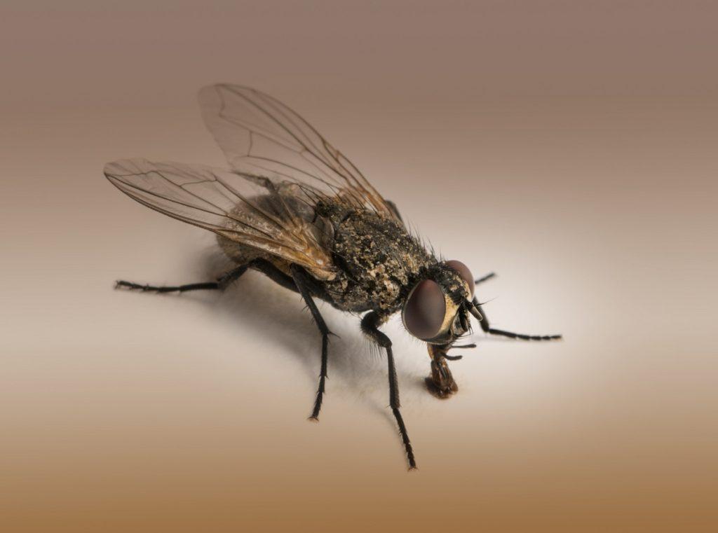 4 Common Fly Species