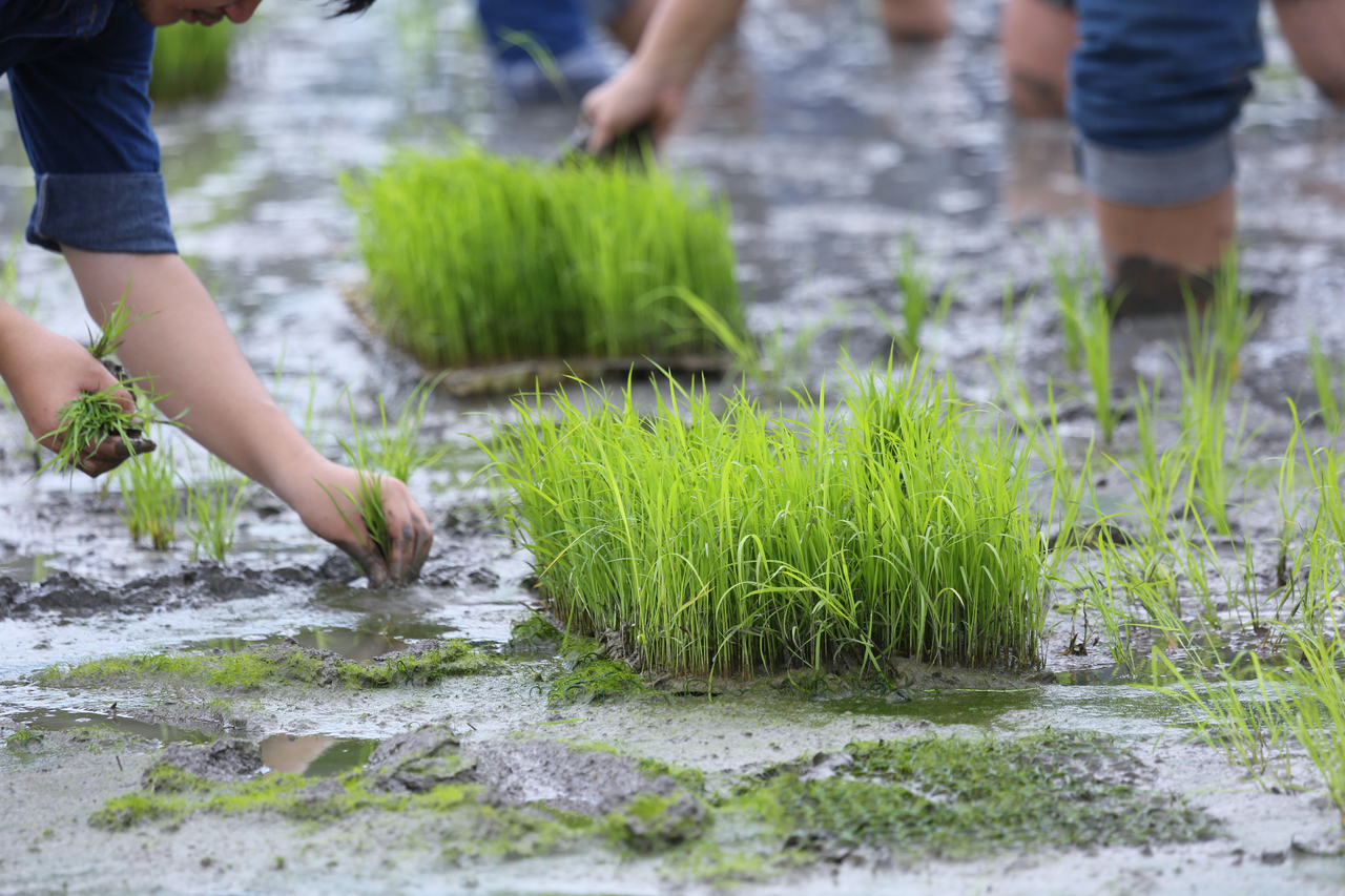 multiple farmers planting rice together