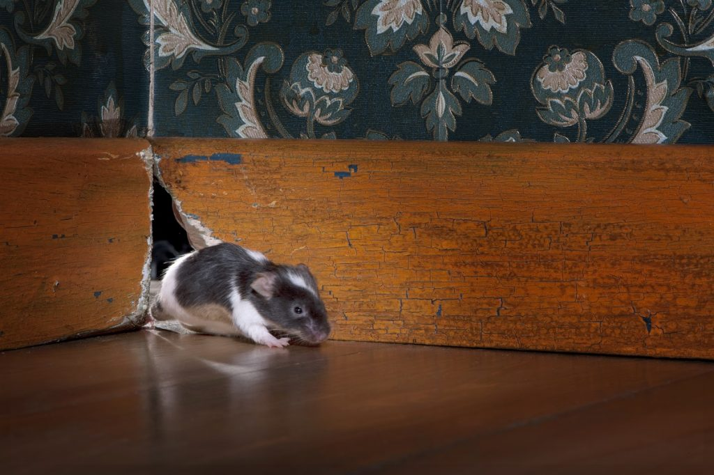 mouse getting out ot her hole in a luxury old-fashioned roon