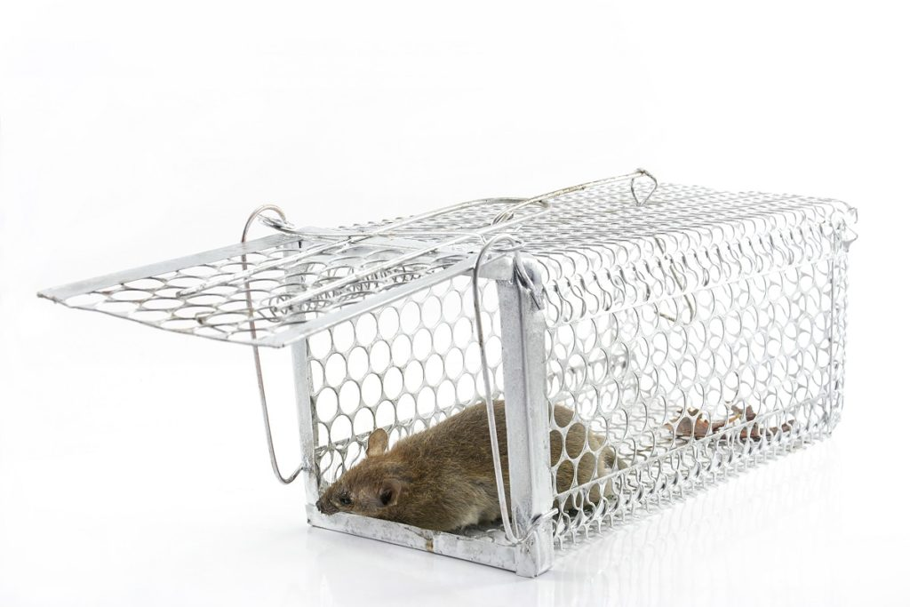 5 Rat Bait Tips to Try When You Have an Infestation