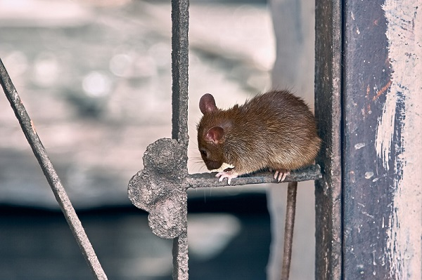 Brown rat animal, close-up.