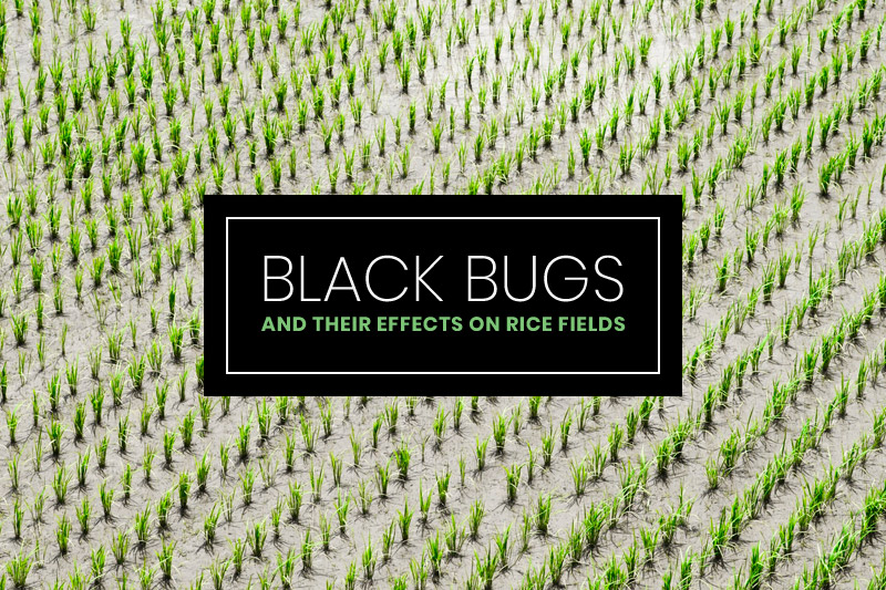 Black-Bugs-and-Their-Effects-on-Rice-Fields