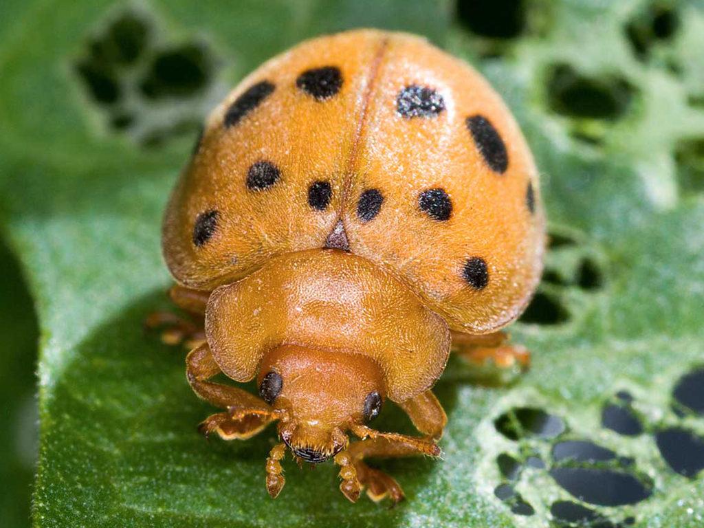 Bean Beetle
