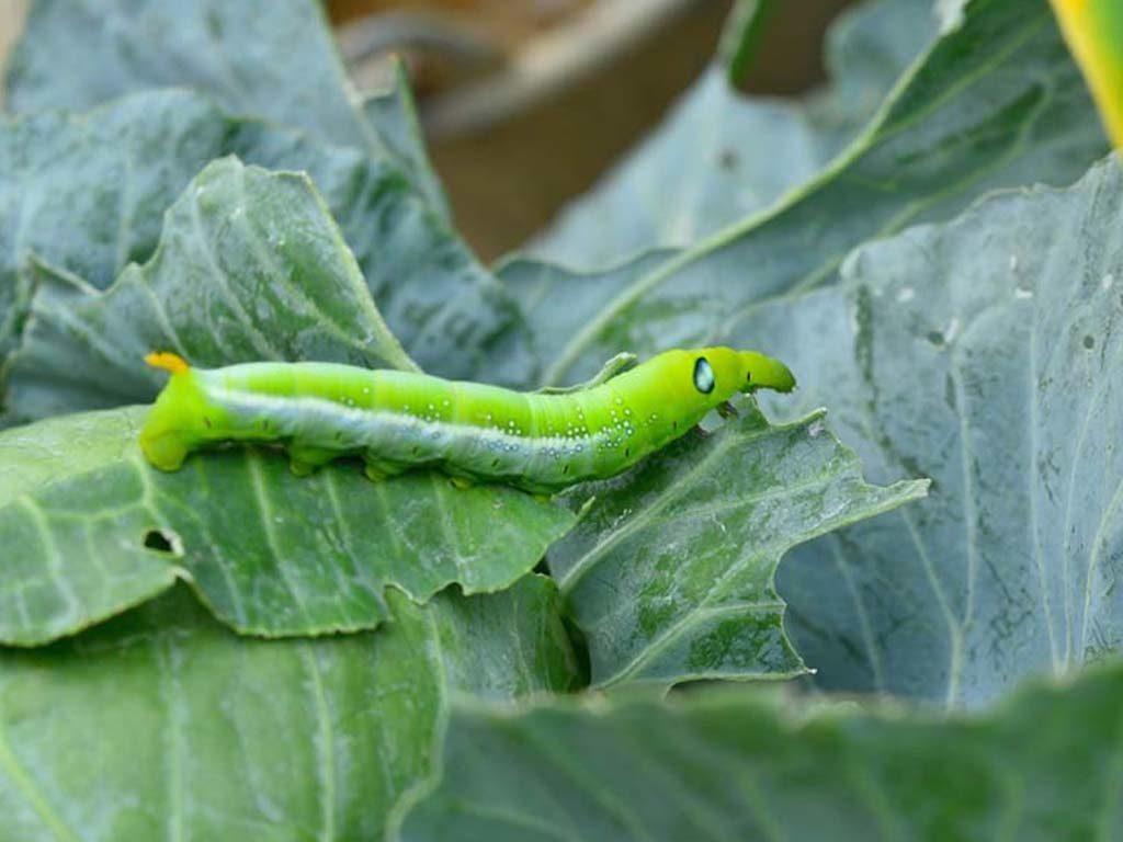 Cabbageworms