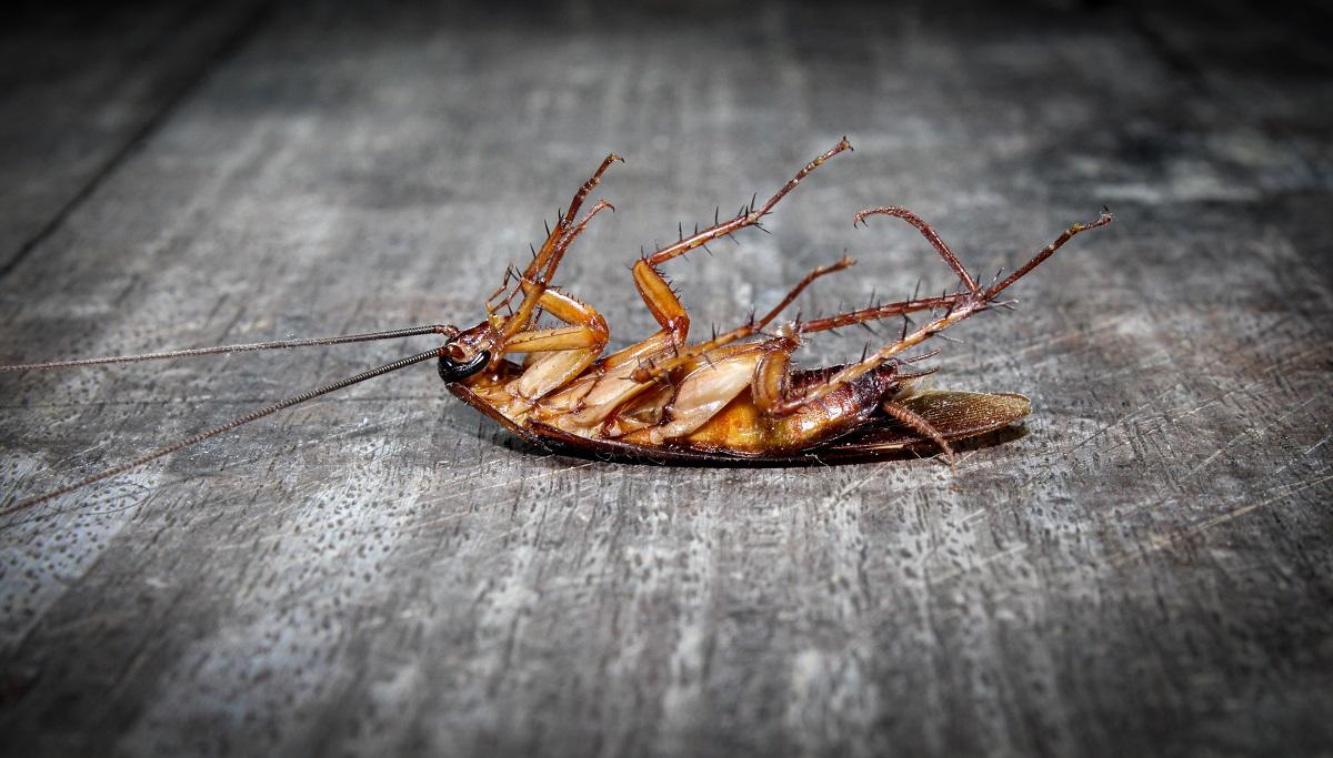 Roaches lie dead on wooden floor, Dead cockroach ,Close up face