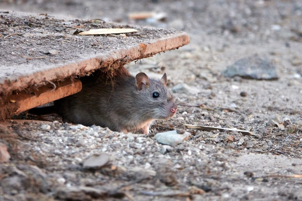 How to Get Rid of Roof Rats in the Philippines