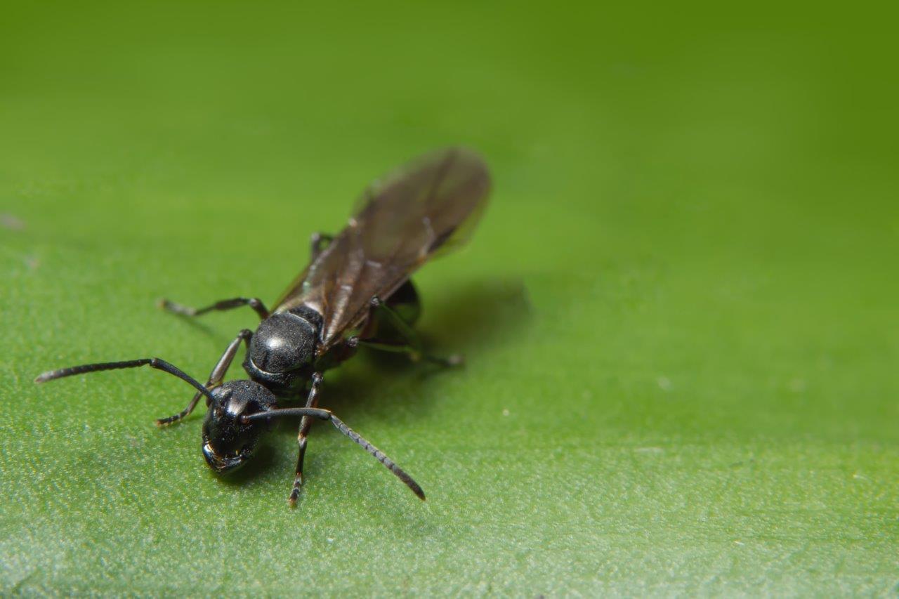 black flying ant