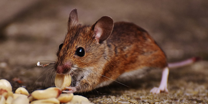 Rodent Problem: Pest Control in the Philippines