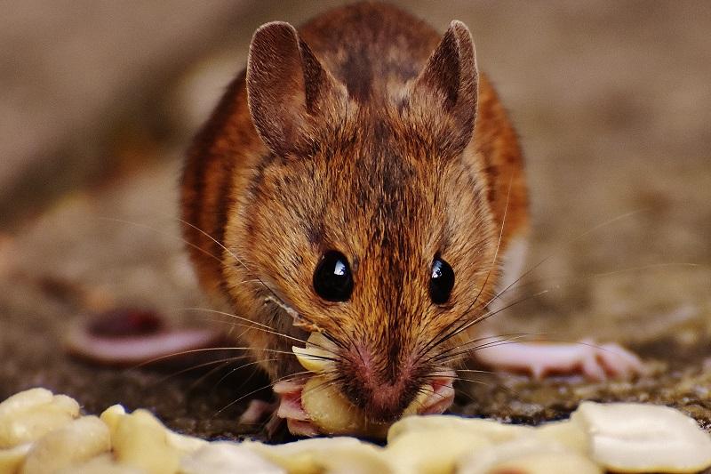 Rat Biology and Behavior