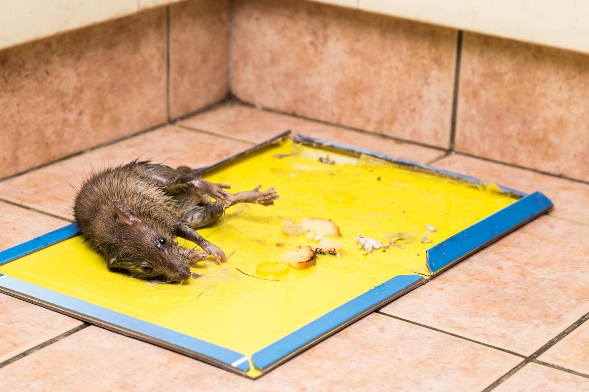 Rat captured on disposable glue trap board on kitchen floor