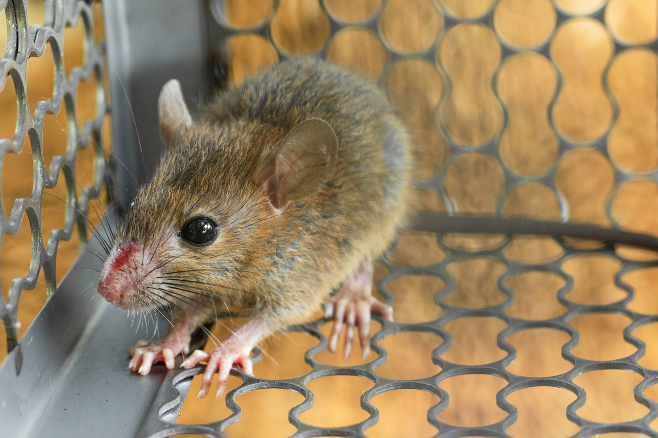 Mouse Trapped In A Trap Cage
