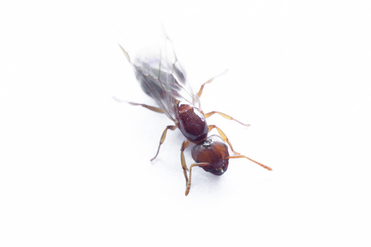 brown flying ant