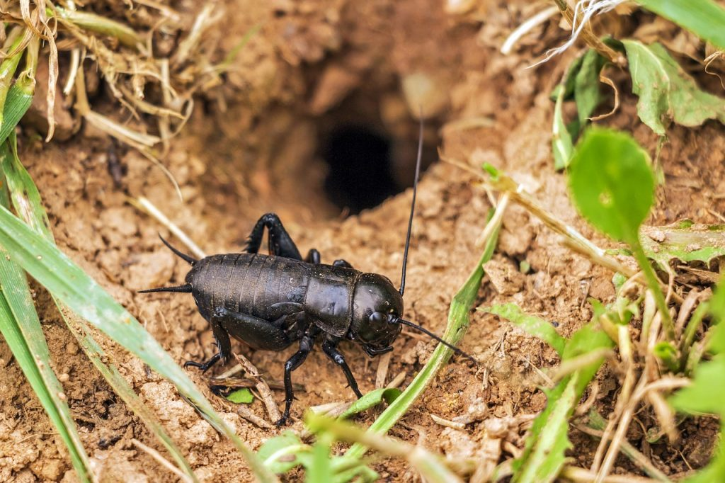 Crickets: The Pests You Need To Know About