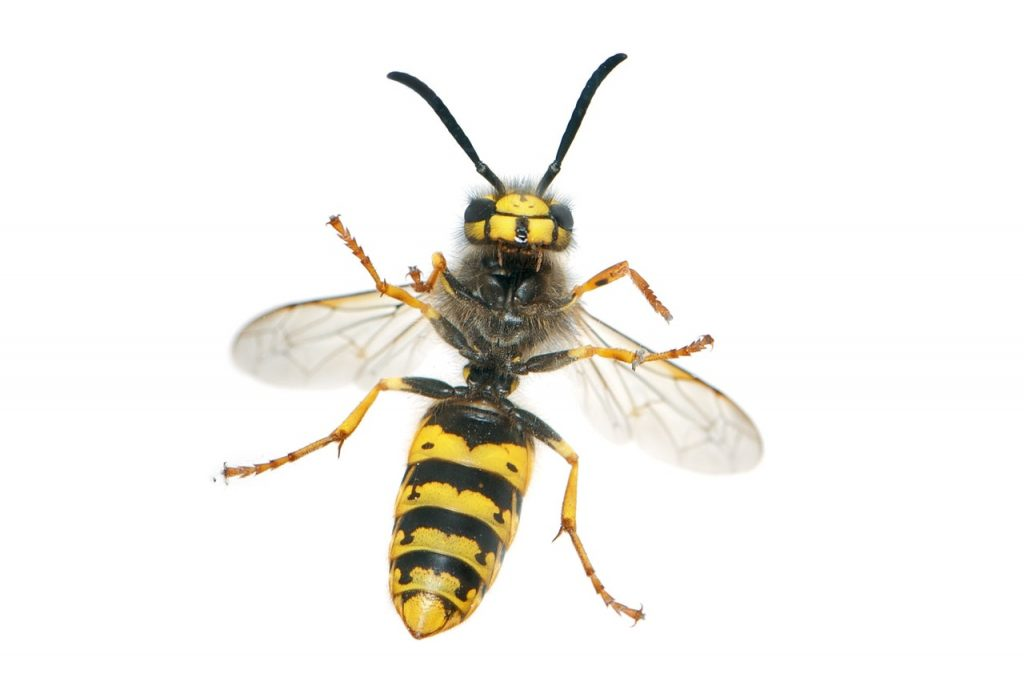 Close Up Insect Wasp 45867
