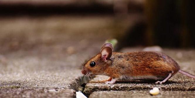 identify rodents